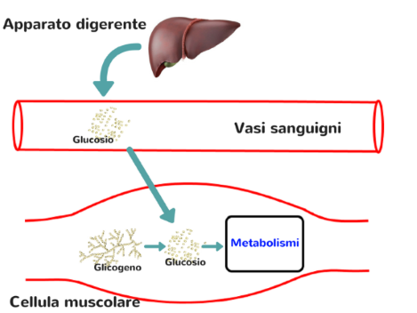 glucosio-glicogeno