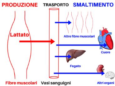 acido lattico lattato