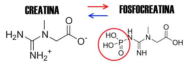 metabolismo alattacido creatina