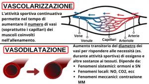 differenza vascolarizzazione e vasodilatazione